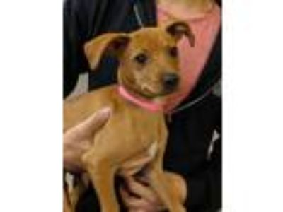 Adopt Brie a Tan/Yellow/Fawn Miniature Pinscher / Mixed dog in Rowland Heights