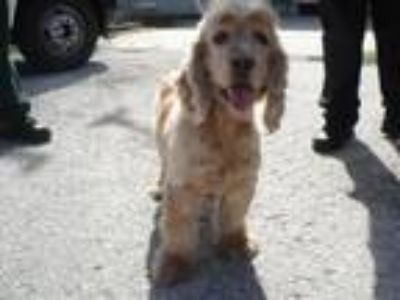 Adopt 40529118 - Available 1/12 a Cocker Spaniel