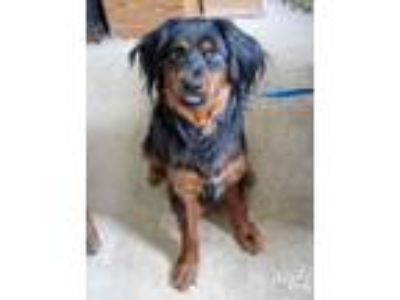 Adopt Brownie a Black - with Brown, Red, Golden, Orange or Chestnut Spaniel