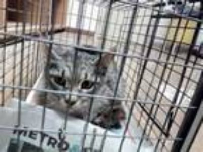 Adopt *SUNNY a Gray, Blue or Silver Tabby Domestic Shorthair / Mixed (short