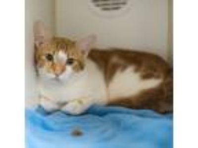 Adopt Red a White Domestic Shorthair / Domestic Shorthair / Mixed cat in