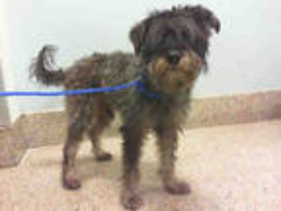 Adopt ZULEIMAN a Black - with Brown, Red, Golden, Orange or Chestnut Schnauzer