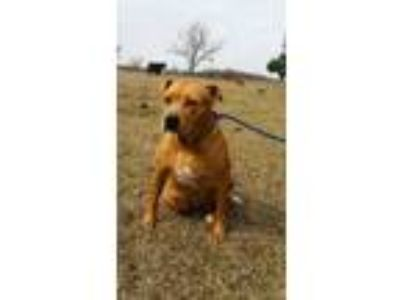 Adopt Queenie a Labrador Retriever, Terrier