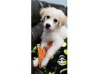 Adopt Tatum a White - with Tan, Yellow or Fawn Great Pyrenees / Golden Retriever