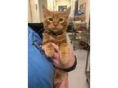 Adopt O'Malley a Domestic Medium Hair