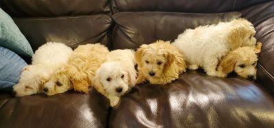 Mini Doodle Chon Puppies