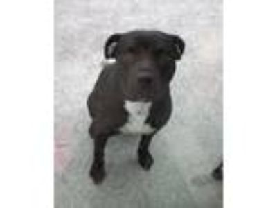 Adopt SMOKE a Black - with White American Staffordshire Terrier / American Pit