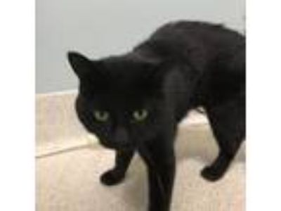 Adopt Midnight a Domestic Long Hair, Domestic Short Hair