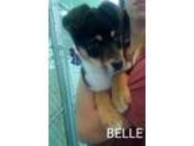 Adopt Bella a Collie, Miniature Pinscher