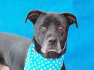 Adopt JAY a Black - with White Border Collie / German Shepherd Dog / Mixed dog