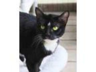 Adopt Sassy a All Black Domestic Shorthair / Domestic Shorthair / Mixed cat in