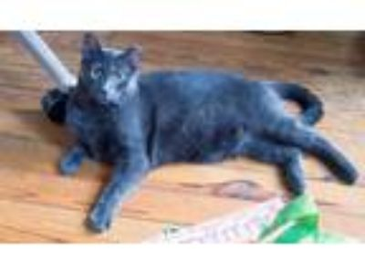 Adopt Slate a Domestic Short Hair, Russian Blue