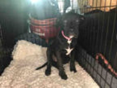 Adopt NOVOX a Black - with White Labrador Retriever / Mixed dog in Fort Walton