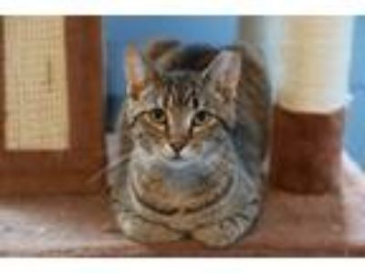 Adopt Piper a Tiger Striped Domestic Shorthair (short coat) cat in Loogootee