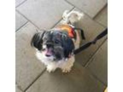 Adopt Lily Pad a Shih Tzu, Mixed Breed