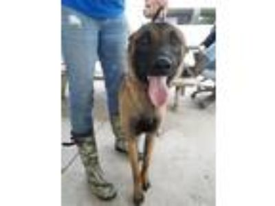 Adopt Baja (real Name) a Mixed Breed, Belgian Shepherd / Malinois