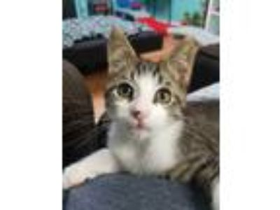 Adopt Christopher a Brown Tabby Domestic Shorthair (short coat) cat in Bartlett