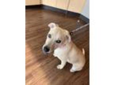 Adopt Goldie a Tan/Yellow/Fawn Labrador Retriever / Terrier (Unknown Type