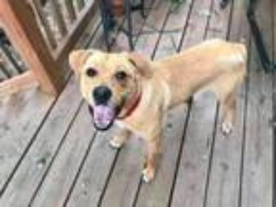 Adopt Moss a Labrador Retriever, Yellow Labrador Retriever