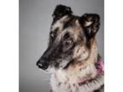 Adopt Grey Wind a German Shepherd Dog