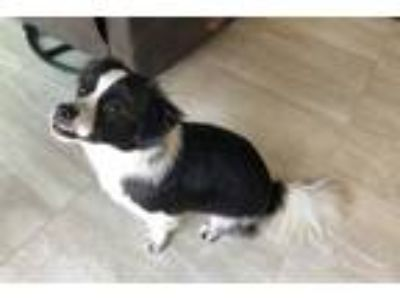 Adopt Titan a Black - with White Shih Tzu / Terrier (Unknown Type