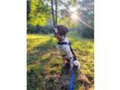 Adopt GA/Harley a Brown/Chocolate - with White Brittany / Mixed dog in Appleton