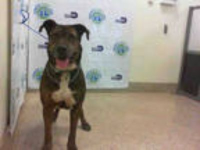Adopt CUPERTINO 2 a Brindle - with White Labrador Retriever / Mixed dog in