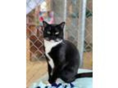 Adopt Fish a All Black Domestic Shorthair / Domestic Shorthair / Mixed cat in