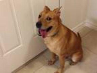Adopt Lucky a Tan/Yellow/Fawn Labrador Retriever / Collie / Mixed dog in