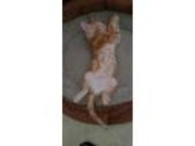Adopt Unnamed as yet a Orange or Red Tabby Domestic Shorthair cat in Ocoee