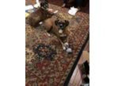 Adopt Gracey a Red/Golden/Orange/Chestnut Boxer / German Shepherd Dog dog in
