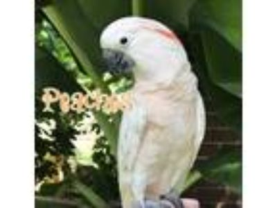 Adopt Peaches a Cockatoo