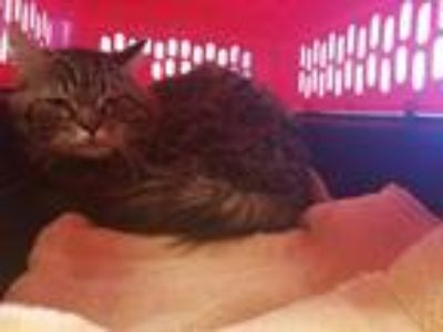 Adopt MARSHALL a Brown Tabby Domestic Shorthair / Mixed (short coat) cat in
