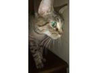 Adopt Freya a Gray, Blue or Silver Tabby Domestic Shorthair cat in Huntington