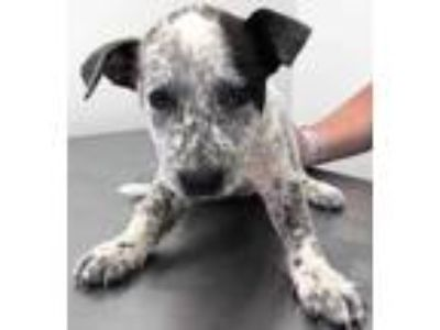 Adopt Alice a White Australian Cattle Dog / Mixed dog in Morton Grove