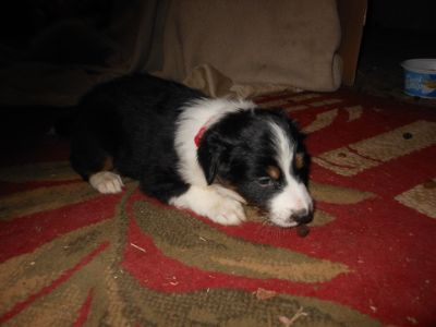 English Shepherd PUPPY FOR SALE ADN-108465 - Pure bred puppies ready Xmas Eve
