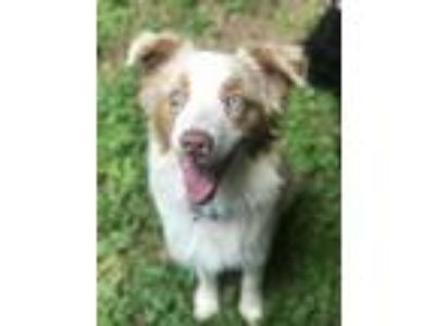 Adopt Jax a Merle Australian Shepherd / Mixed dog in Atlanta, GA (25594925)