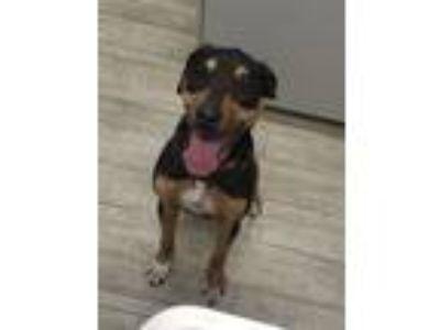 Adopt Stella a Rottweiler