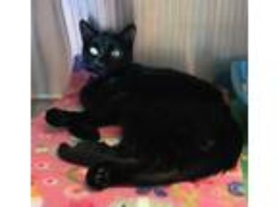 Adopt Odette a All Black Domestic Shorthair / Domestic Shorthair / Mixed cat in