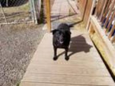 Adopt Sue a Black Labrador Retriever