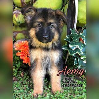 German Shepherd Dog PUPPY FOR SALE ADN-102250 - AKC Long Coat German Shepherd puppy