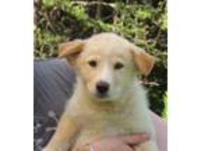Adopt Klyde a Tan/Yellow/Fawn - with White Husky / Retriever (Unknown Type)