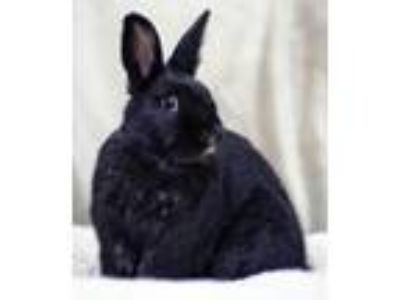 Adopt Tio a Other/Unknown / Mixed (short coat) rabbit in Pflugerville