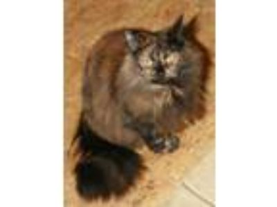 Adopt Chili a Domestic Mediumhair / Mixed cat in Attalla, AL (23113188)