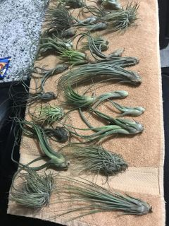 Many air plants for sale! These are bigger air plants so beautiful 4 dollars each but will discount for multiple plants