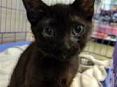 Adopt Squirtle a Domestic Shorthair / Mixed cat in Mipiltas, CA (25869398)