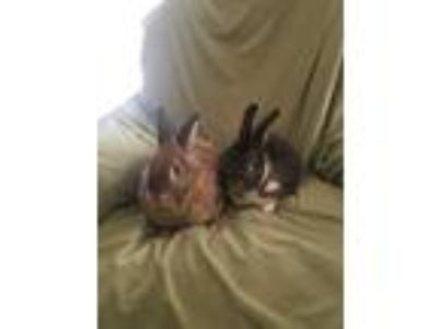 Adopt Kodiak (Kody) a Agouti American / Mixed (short coat) rabbit in West