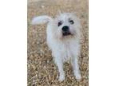 Adopt Fritz a White Terrier (Unknown Type, Small) / Poodle (Miniature) / Mixed