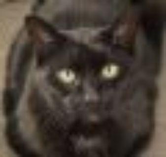 Denzel (Declawed) Domestic Short Hair - Siamese Cat
