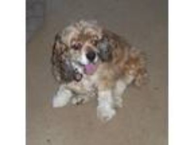 Adopt Leia a Brown/Chocolate - with White Cocker Spaniel / Mixed dog in